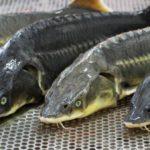 Рыбное производство под ключ